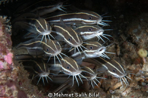 Juvenile Cat Fishes.